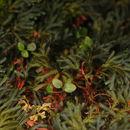 Image of <i>Selaginella erythropus</i> (Mart.) Spring