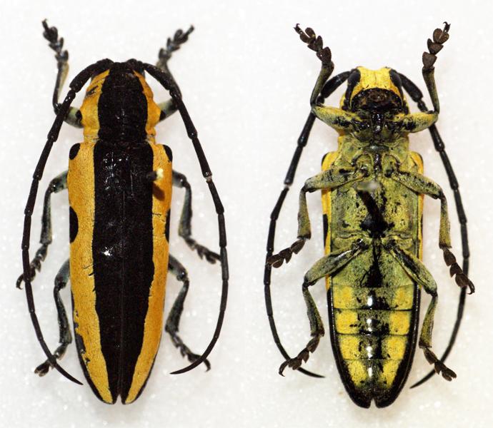 Image of <i>Tragocephala univittipennis</i> Breuning 1974