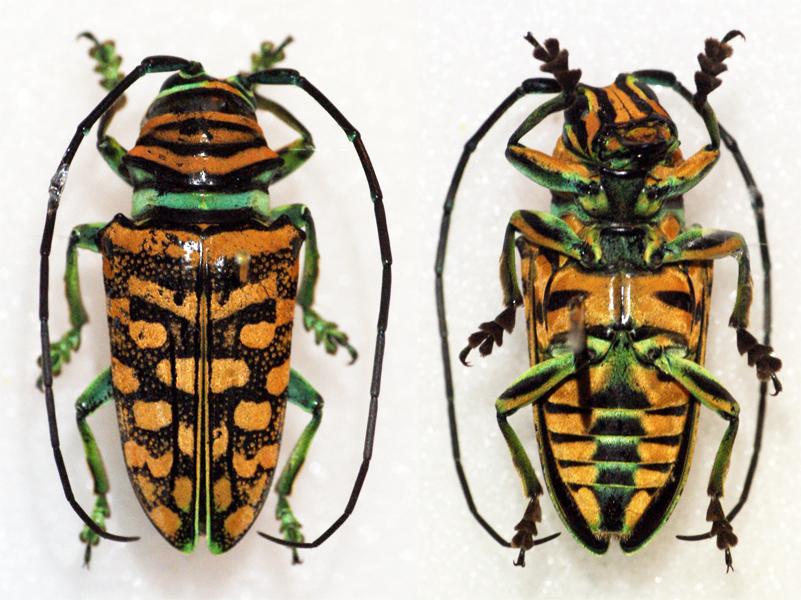 Image of <i>Sternotomis mirabilis</i> (Drury 1773)