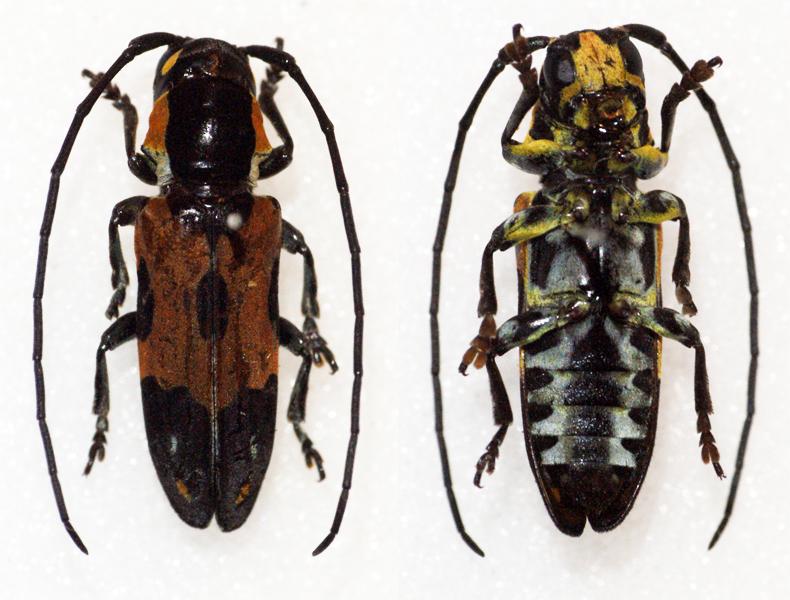 Image of <i>Tragocephala tournieri</i> Lepesme & Breuning 1950