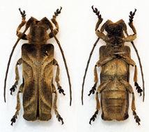 Image of <i>Thylactus insignis</i> Gahan 1890
