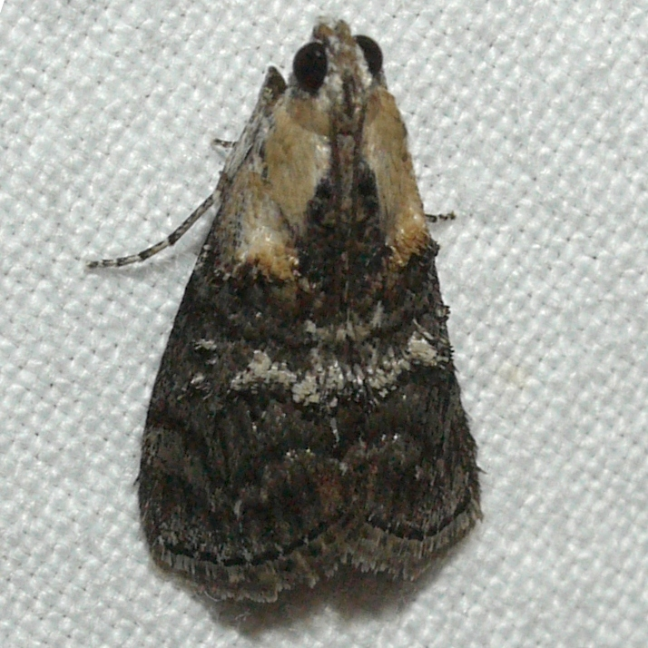 Image of Double-humped Pococera Moth