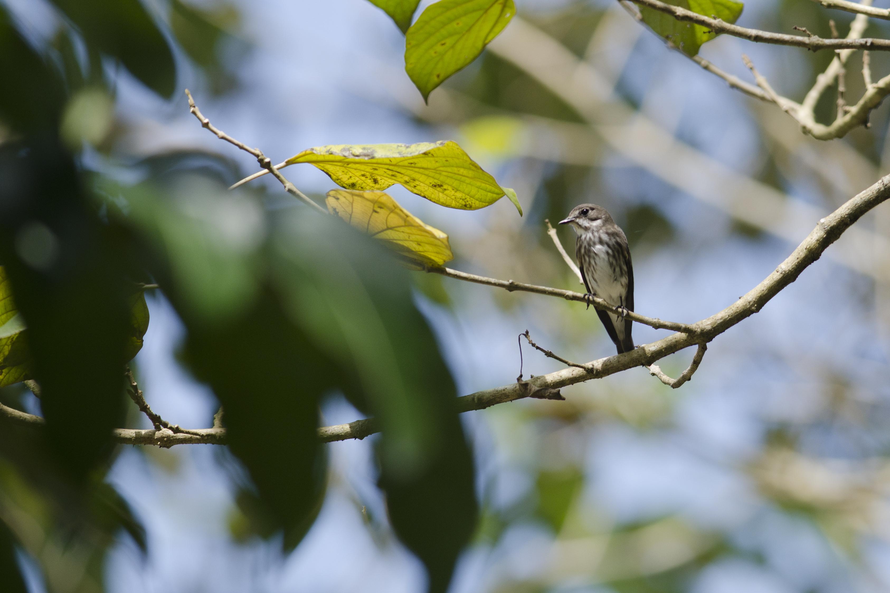 Image of Gray-streaked Flycatcher