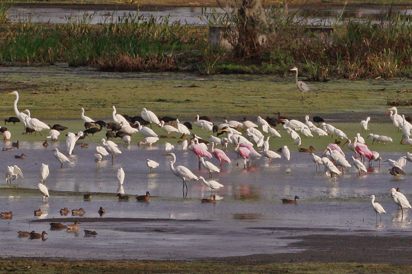 Image of Roseate Spoonbill