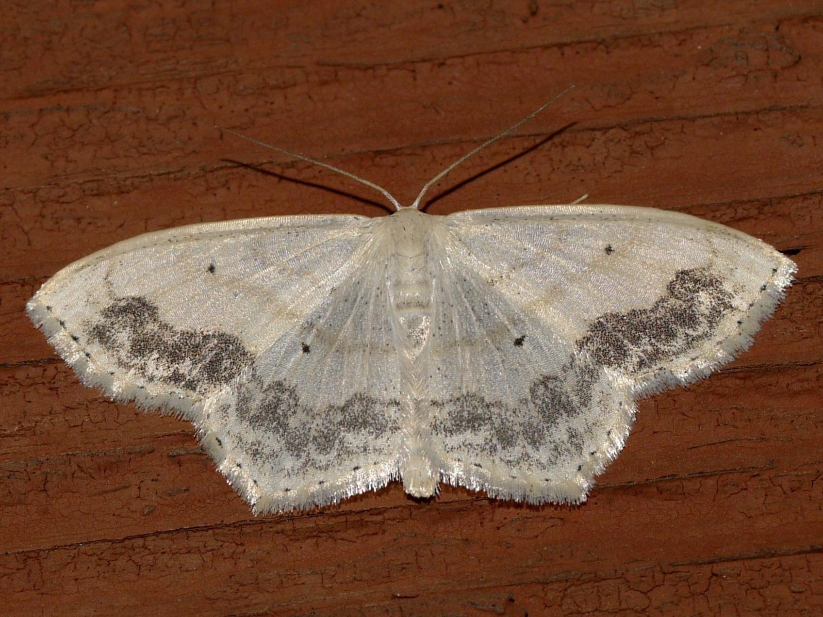 Image of Large Lace-border
