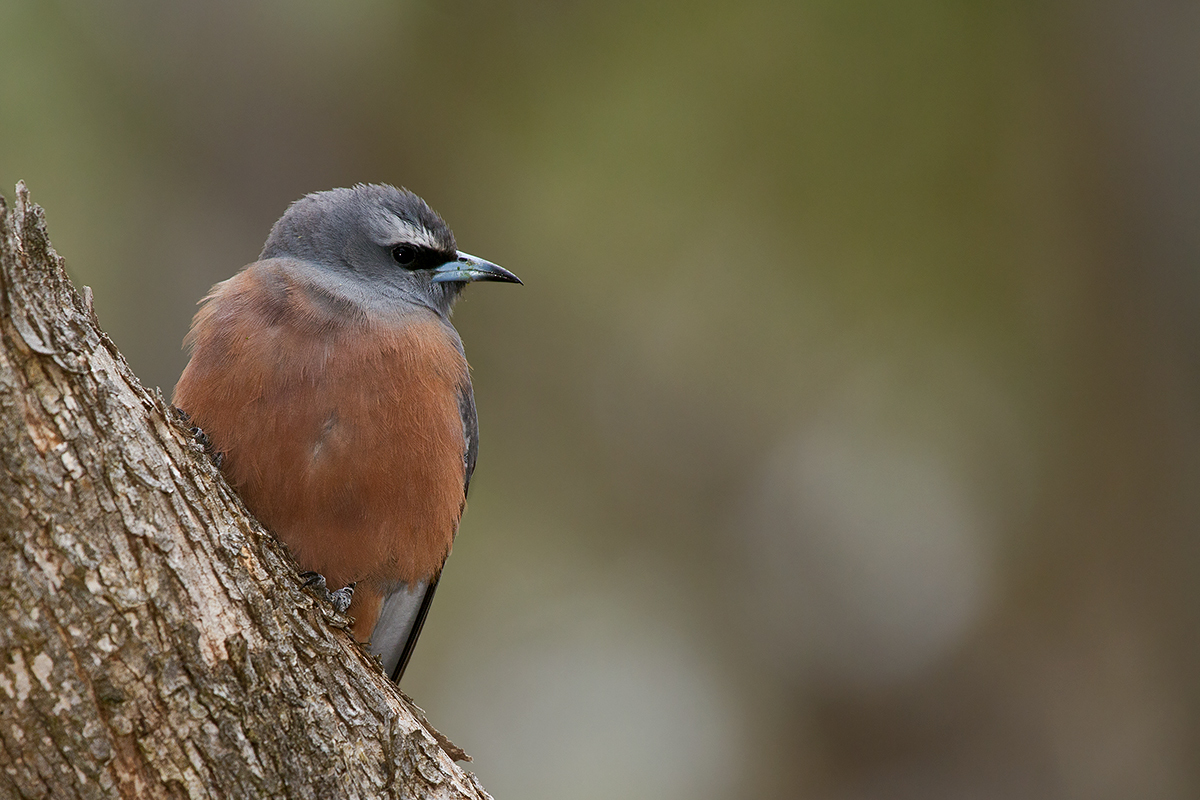 Image of White-browed Woodswallow