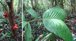 Image of <i>Bactris hondurensis</i> Standl.