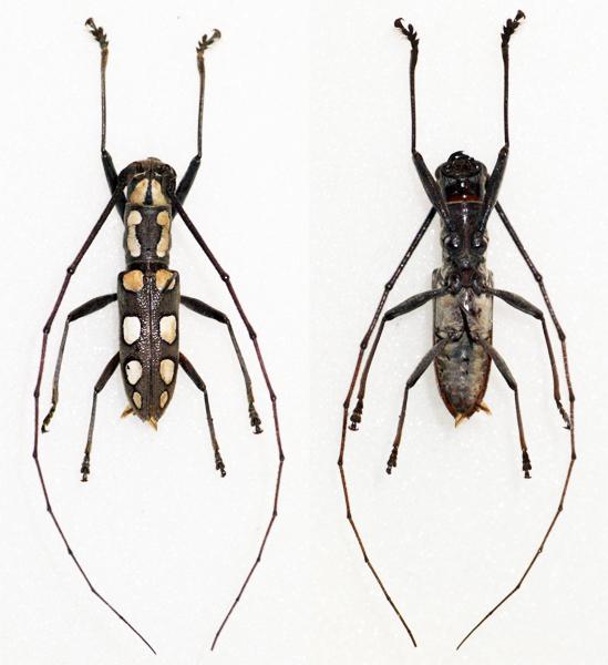 Image of <i>Olenecamptus optatus</i> Pascoe 1866