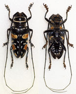 Image of <i>Sternotomis fairmairei</i> Argod 1899