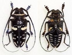 Image of <i>Sternotomis caillaudi</i> Chevrolat 1844