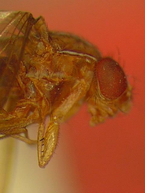 Image of <i>Zaprionus serratus</i> Chassagnard 1988