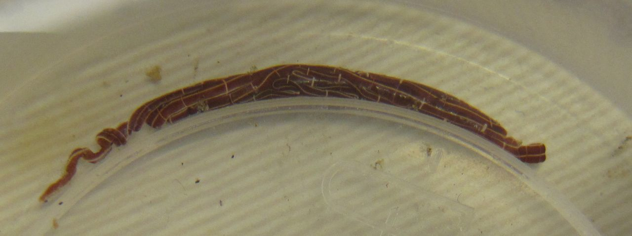 Image of football Jersey worm