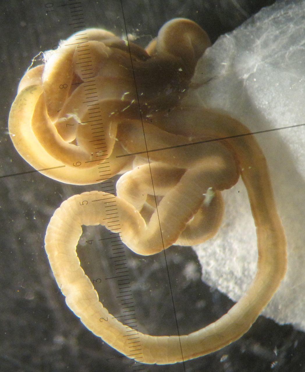 Image of Green Ribbon Worm