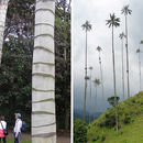 Image of Wax palm