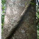 Image of sandbox tree