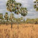 Image of Carnauba palm