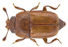 Image of Sap beetle