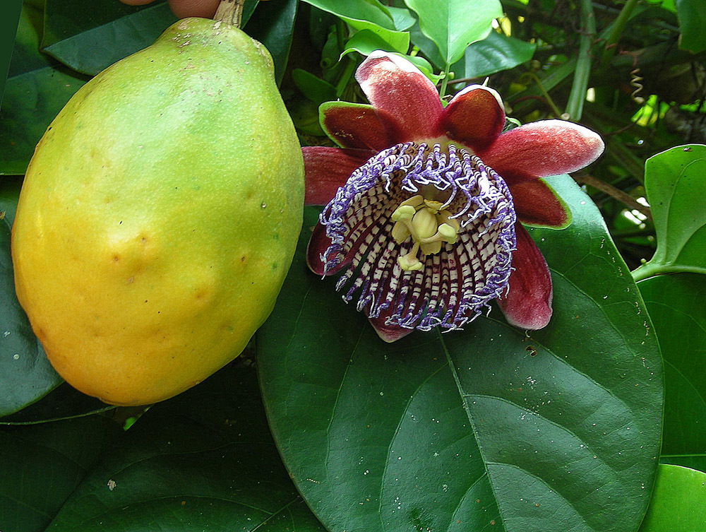 Image of passionflower