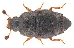 Image of <i>Carpophilus flavipes</i>