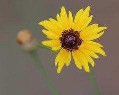 Image of <i>Coreopsis leavenworthii</i> Torr. & A. Gray