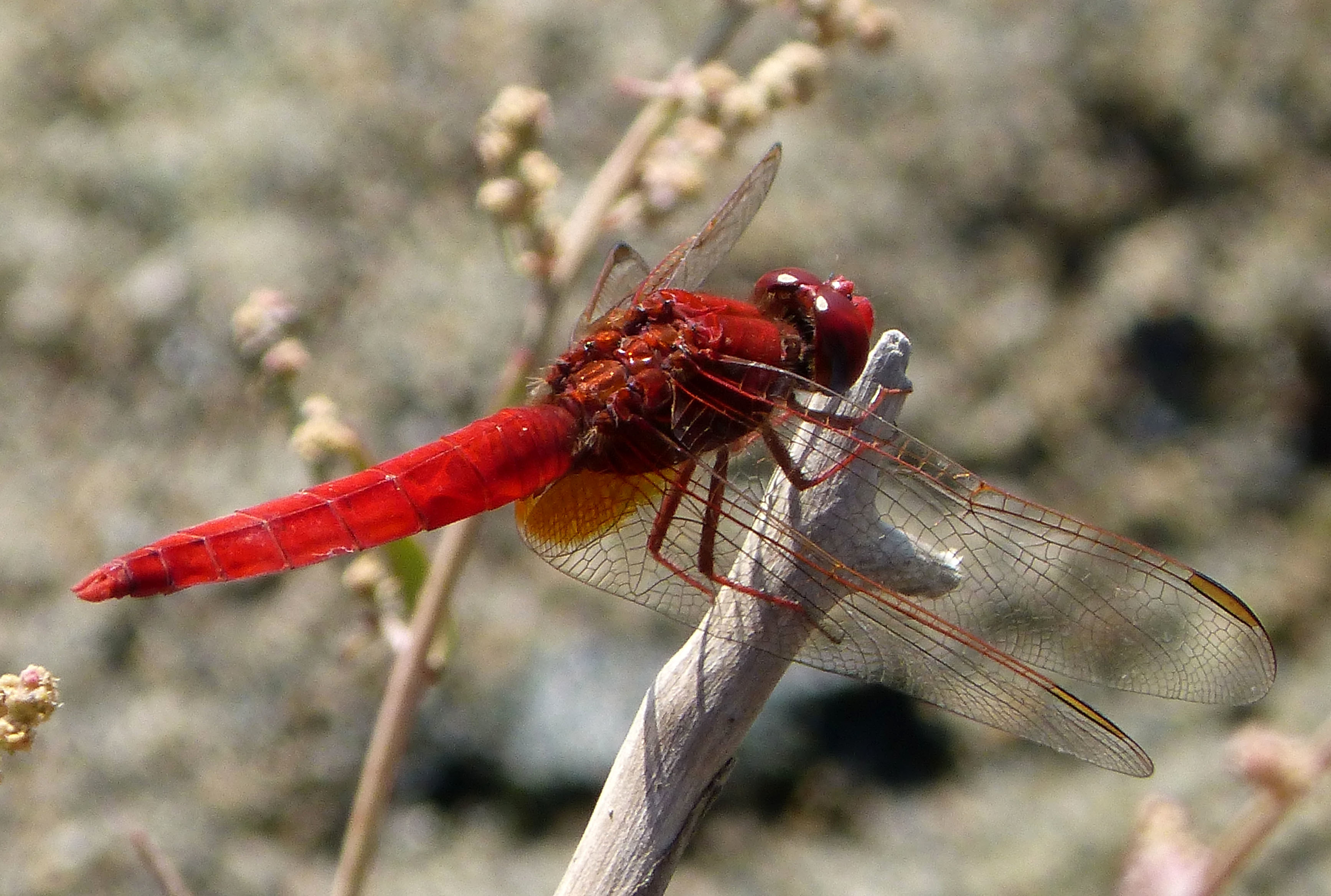 Image of Broad Scarlet