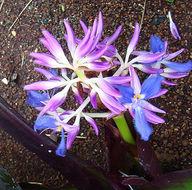 Image of <i>Cochliostema odoratissima</i>