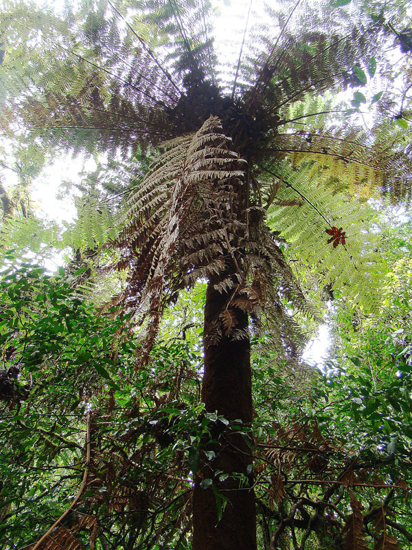 Image of <i>Dicksonia gigantea</i>