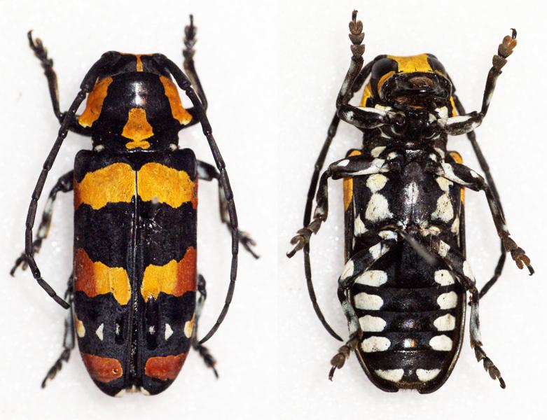 Image of <i>Tragocephala mima</i> Thomson 1878