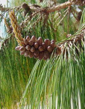 Image of Jelecote Pine