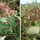 Image of <i>Rubus urticifolius</i> Poir.