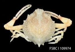 Image of spurfinger purse crab