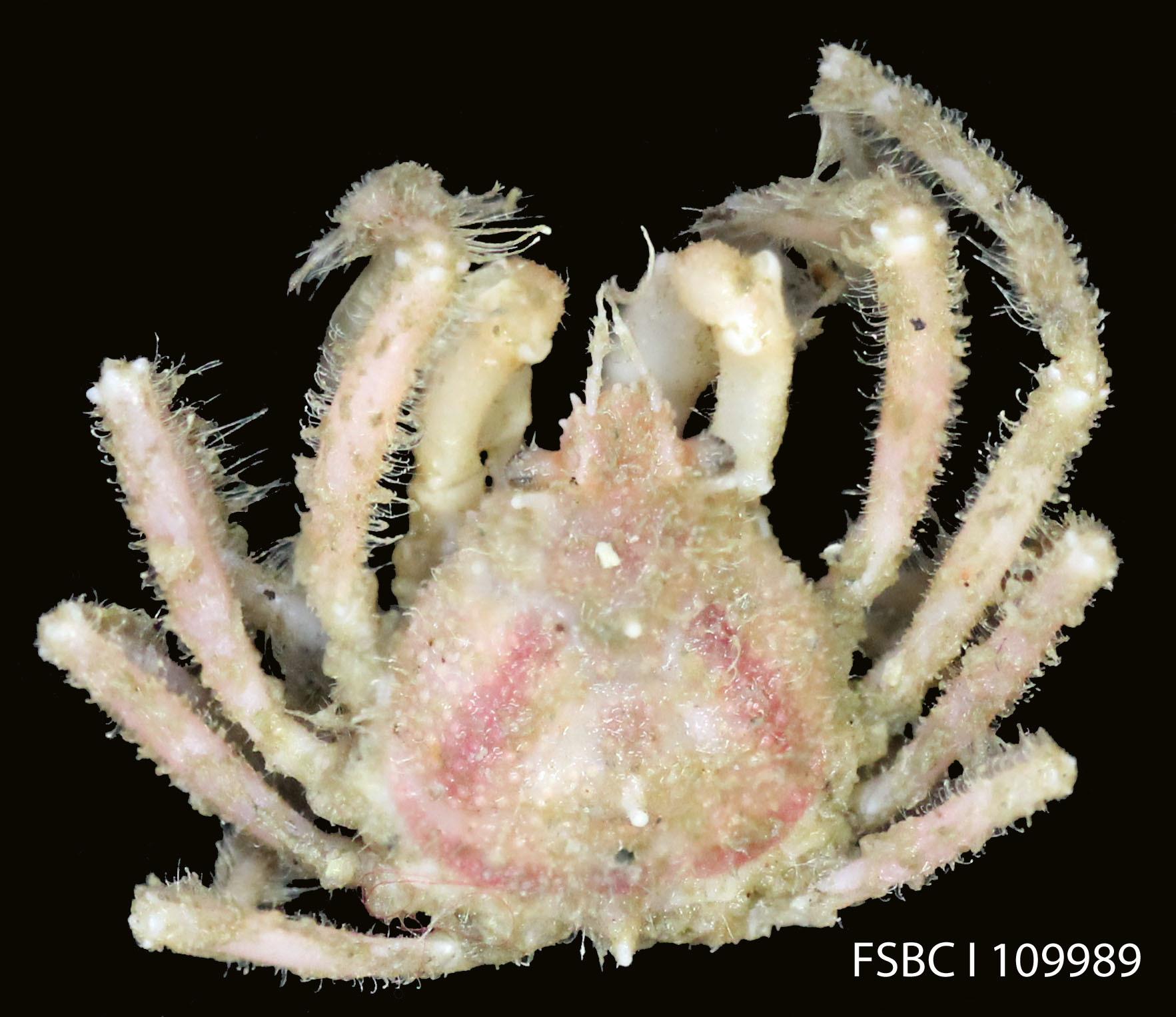 Image of <i>Collodes trispinosus</i> Stimpson 1871