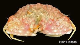 Image of <i>Cyclozodion tuberatum</i> Williams & Child 1989