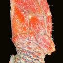 Image of <i>Diceroscalpellum arietinum</i> (Pilsbry 1907)
