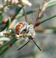 Image of <i>Campsomeriella thoracica</i> (Fabricius 1787)
