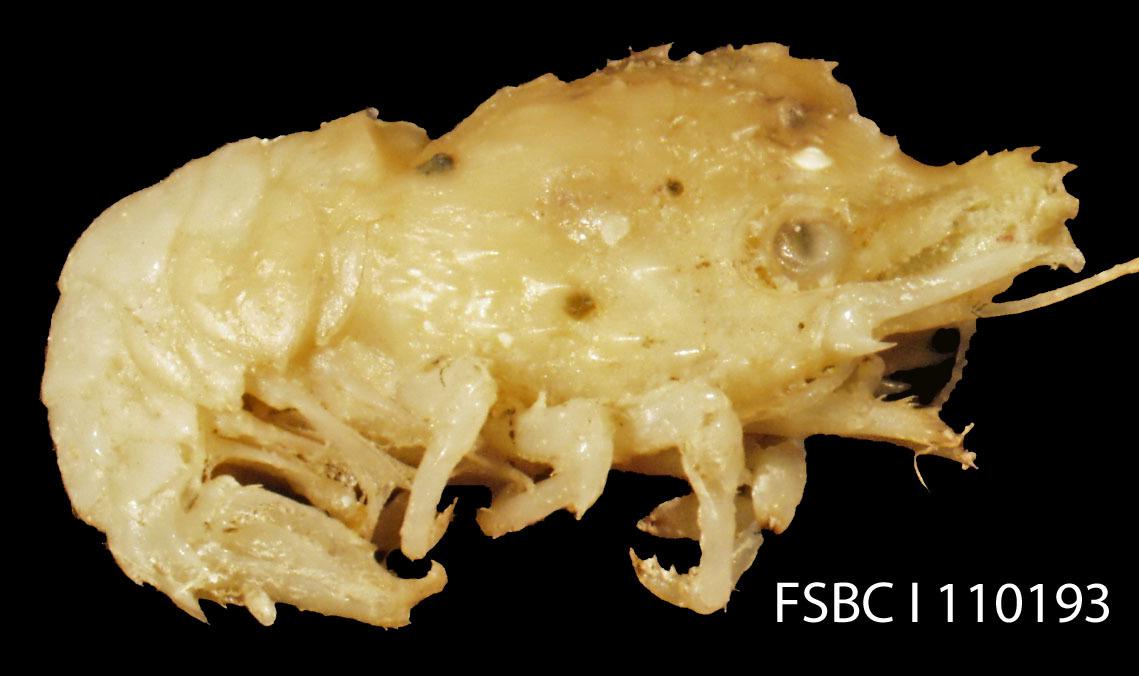 Image of <i>Trachycaris rugosa</i> (Bate 1888)