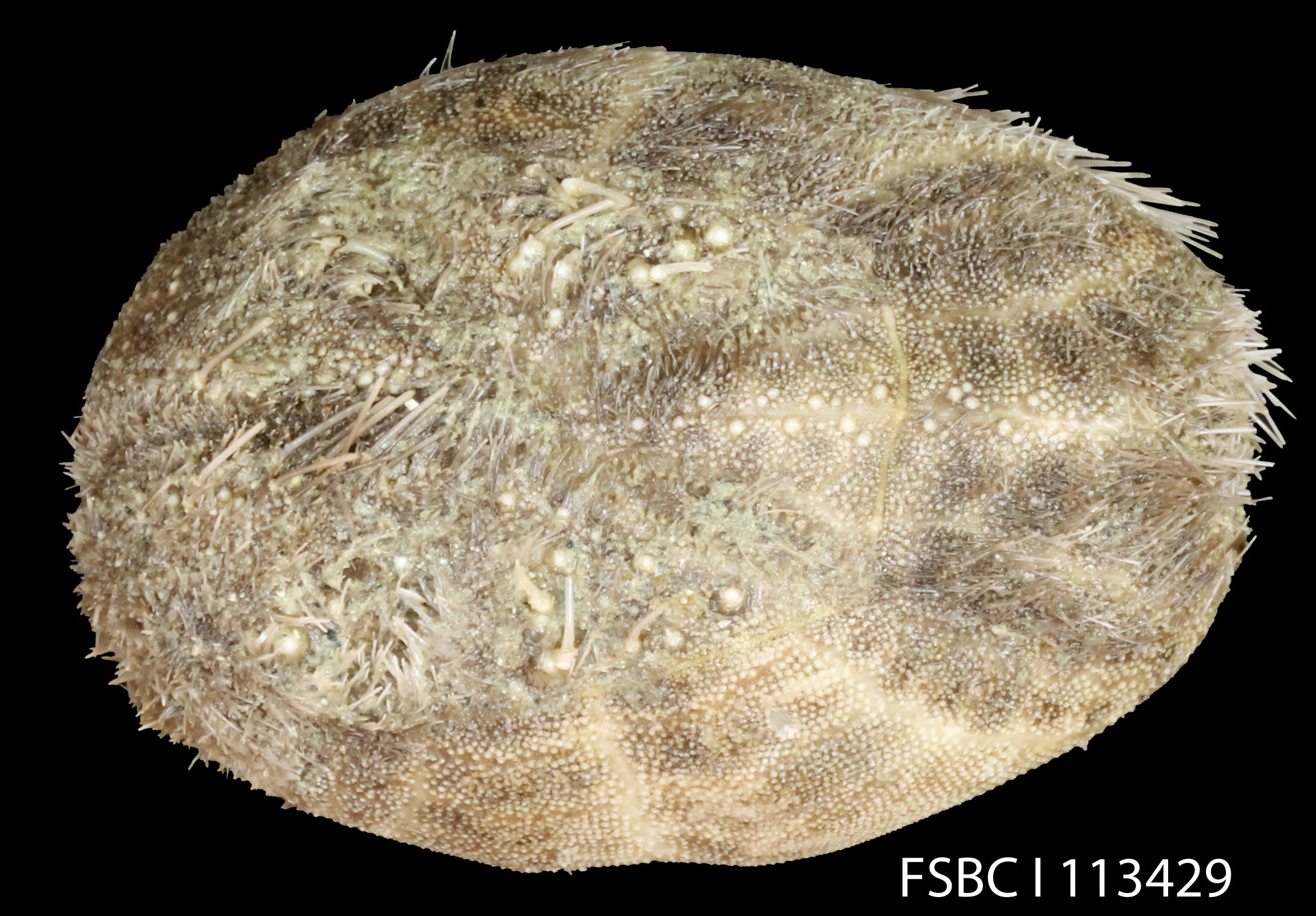 Image of <i>Plagiobrissus grandis</i> (Gmelin 1791)