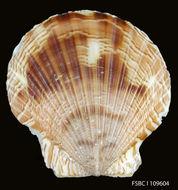 Слика од <i>Aequipecten lineolaris</i> (Lamarck 1819)
