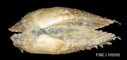 Image of <i>Barbatia candida</i> (Helbling 1779)