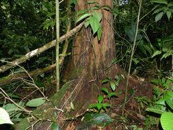 Image of <i>Anthodiscus chocoensis</i> Prance