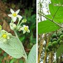 Image of <i>Solanum argenteum</i> Dun. ex Poir.