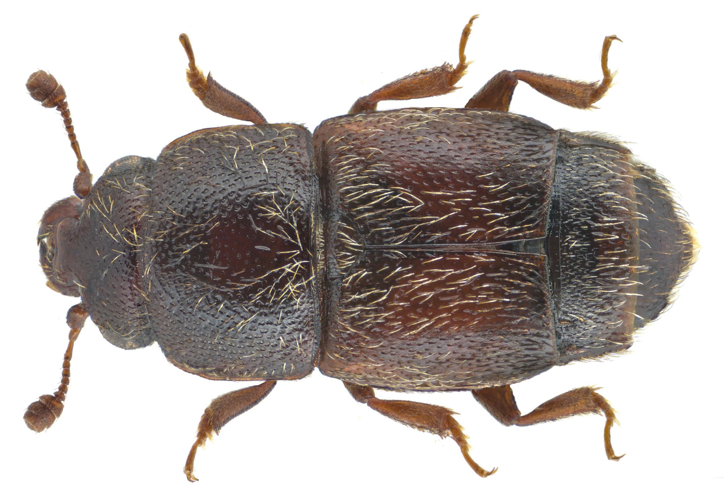 Image of <i>Carpophilus dimidiatus</i> (Fabricius 1792)