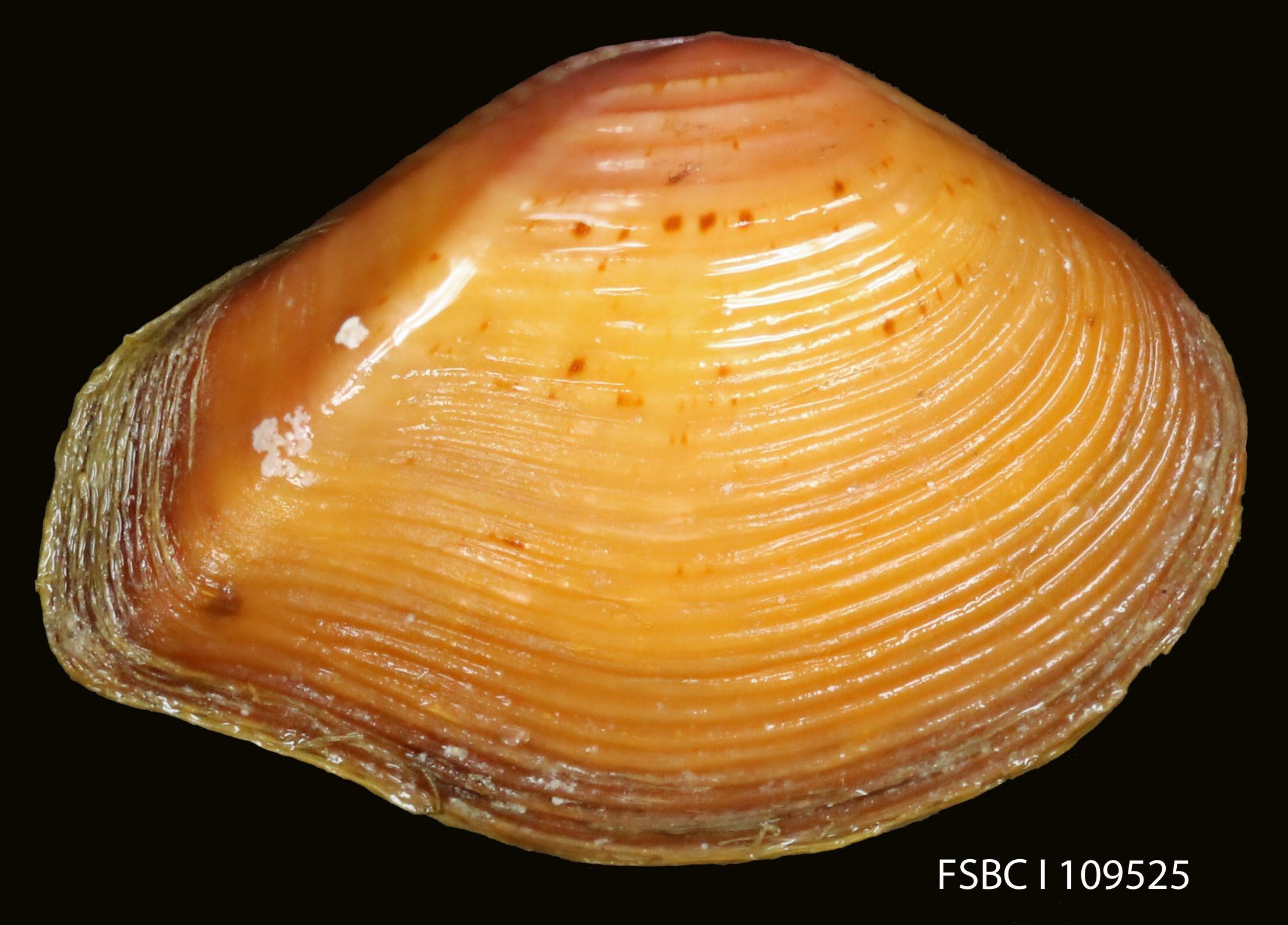 Image of <i>Eucrassatella speciosa</i> (A. Adams 1854)