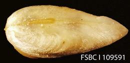 Image of <i>Gastrochaena ovata</i> G. B. Sowerby I 1834