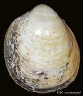 Image of <i>Laevicardium serratum</i> (Linnaeus 1758)