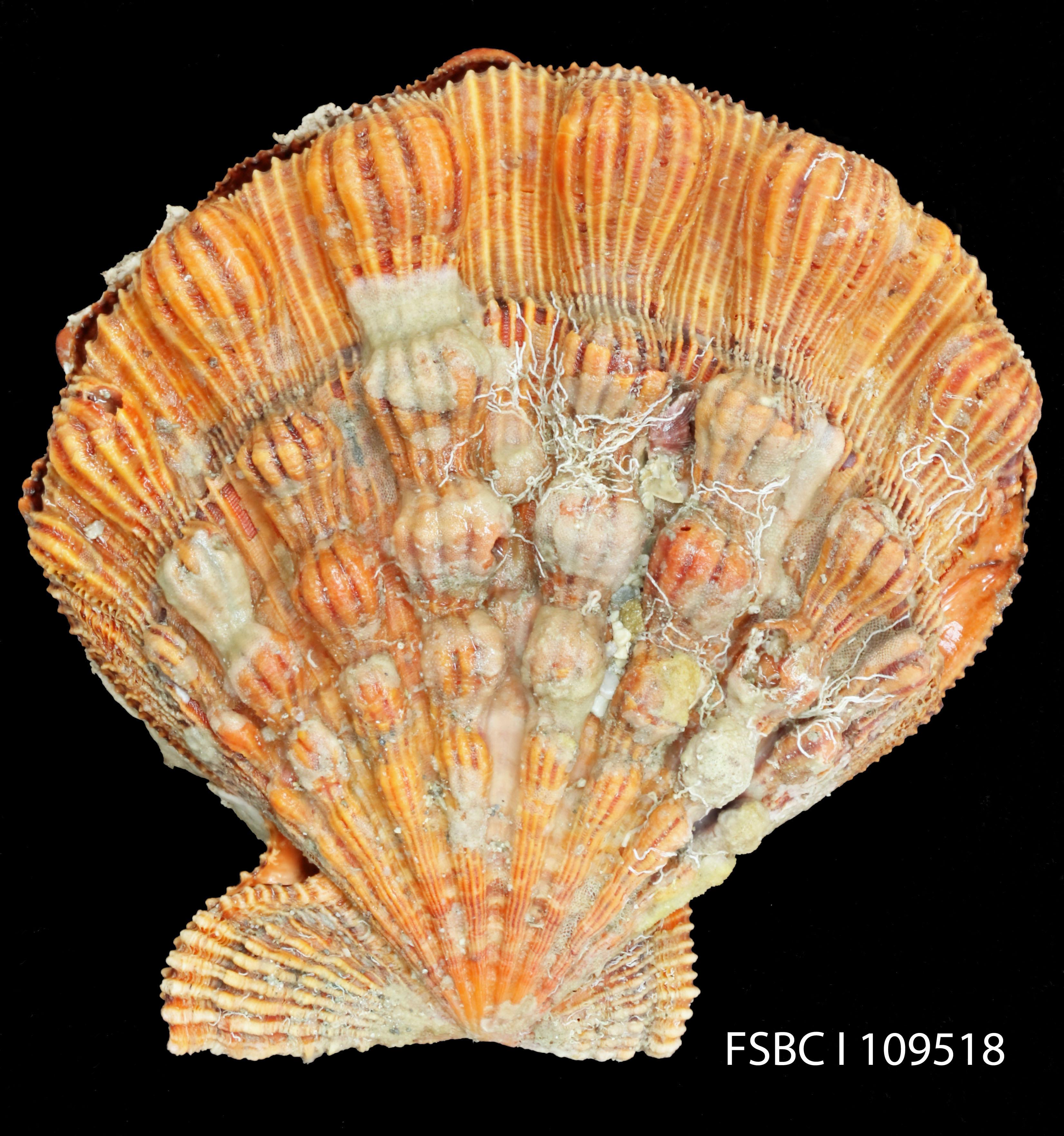 Слика од <i>Nodipecten fragosus</i> (Conrad 1849)