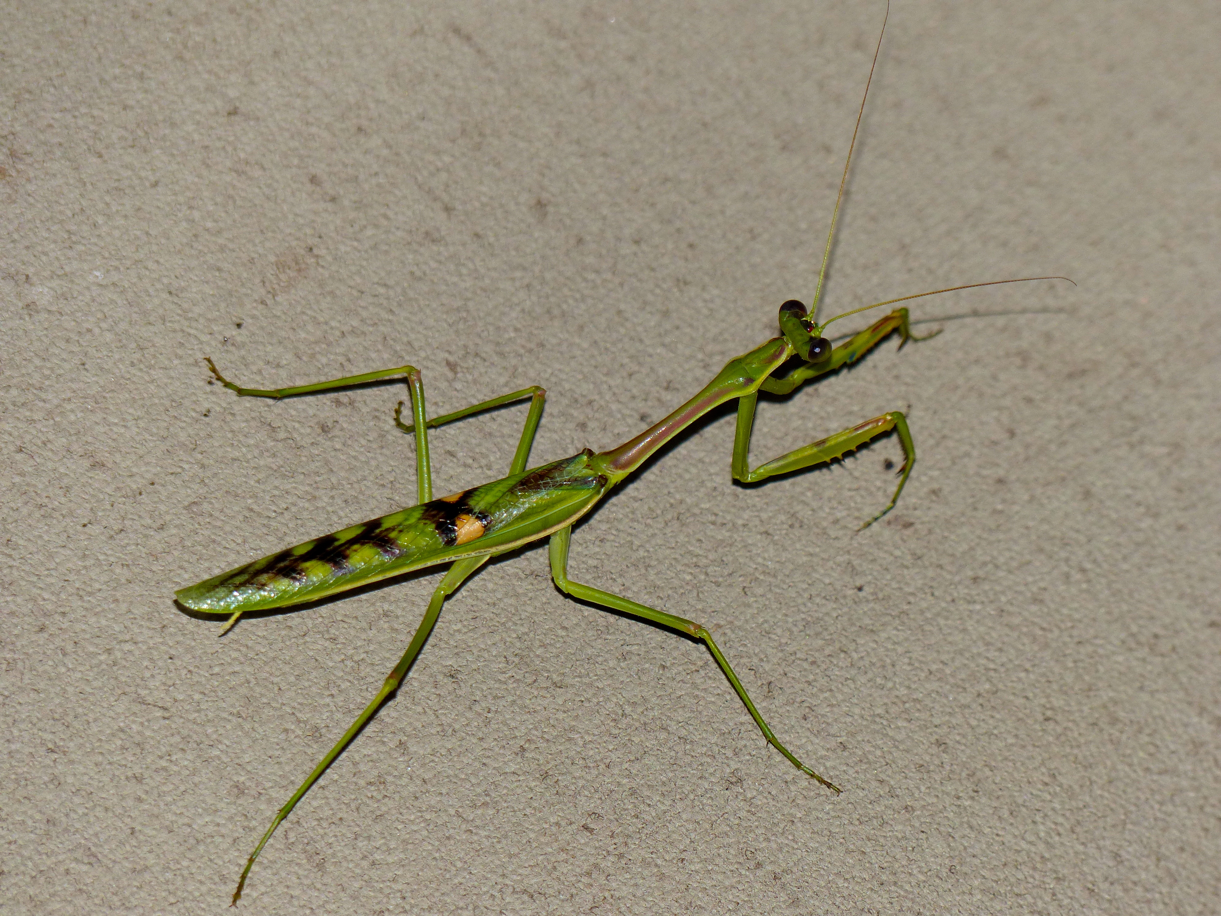 Image of zebra mantis