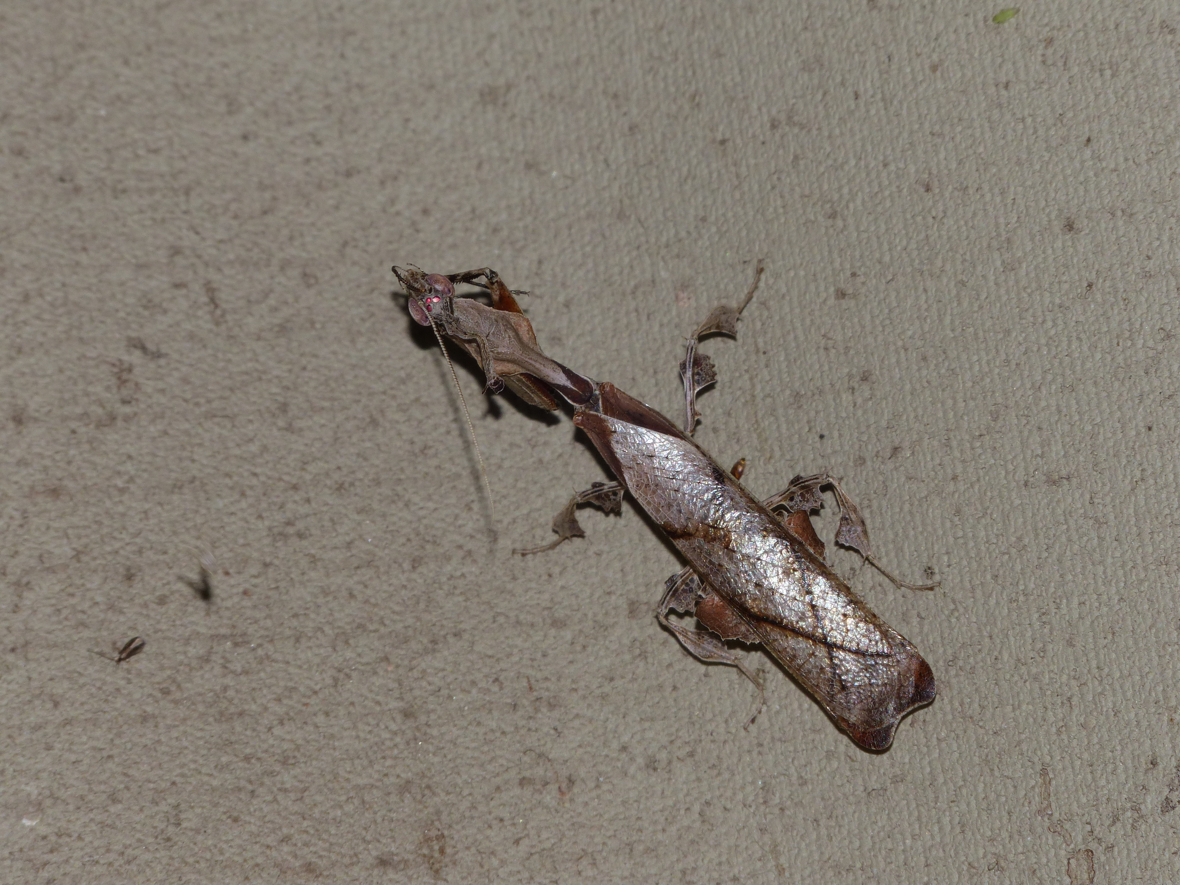 Image of Ghost Mantis