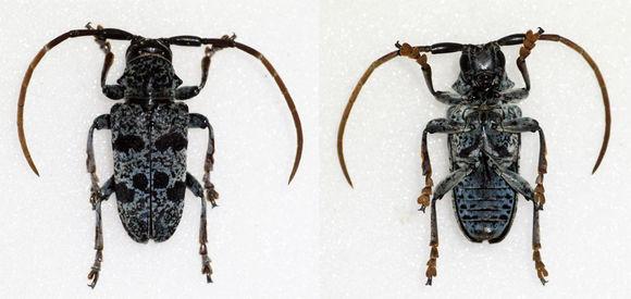 Image of <i>Tragon signaticornis</i> (Chevrolat 1855)