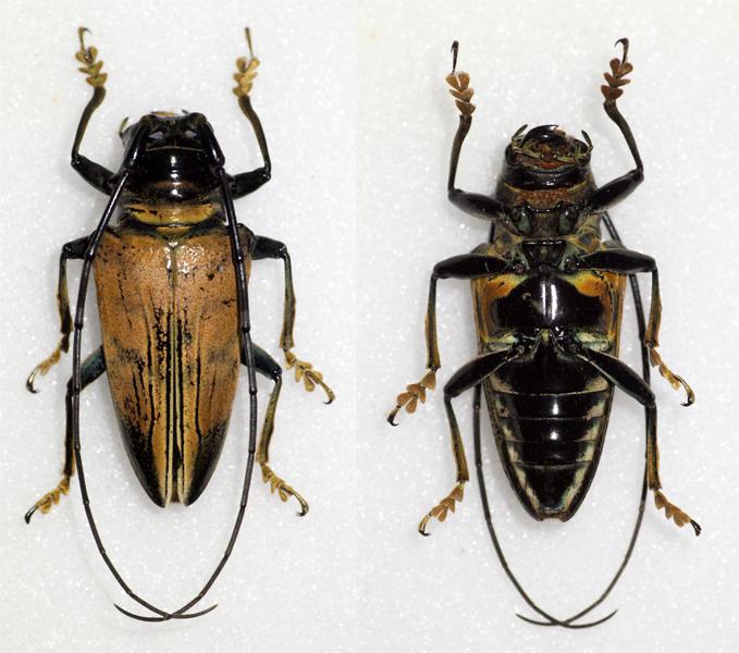 Image of <i>Sternotomis</i> (<i>Ultiolemur</i>) <i>ducalis</i> (Klug 1835)